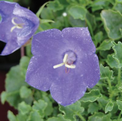 Bell Flower Clips Deep Blue  - Campanula carpatica -  std pot